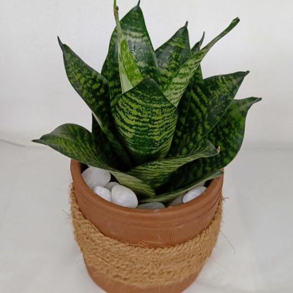 FD 221 Snake plant