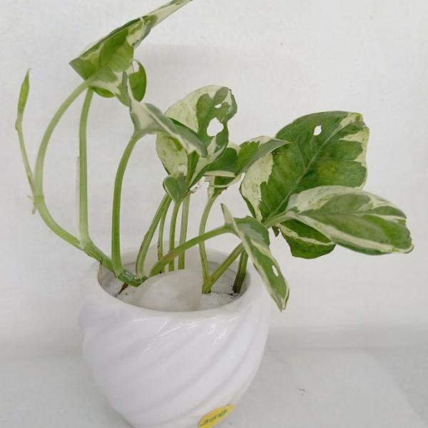 FD 104 Gift Plant