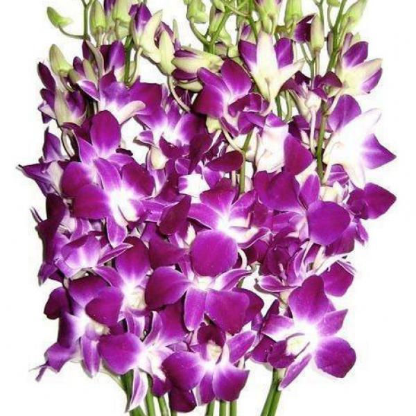 FD 134 Orchid Dendrobium Purple