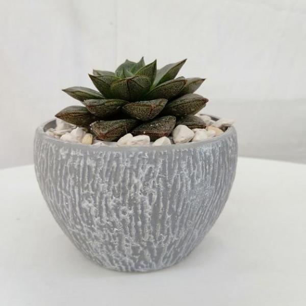 FD 189 Succulent