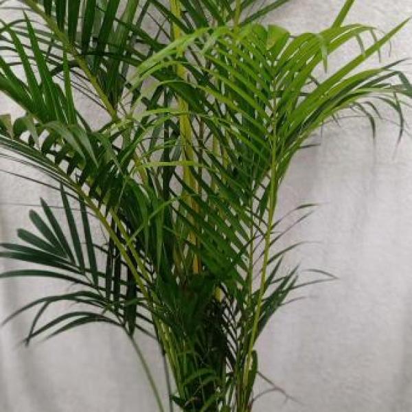 FD 21 Areca Palm