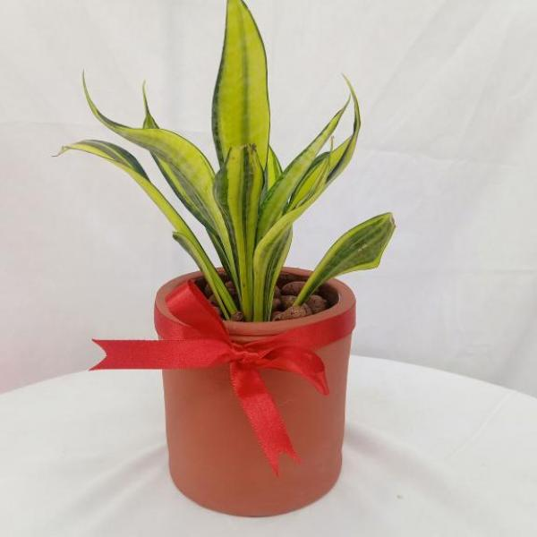 FD 276 Decorated Snake Plant