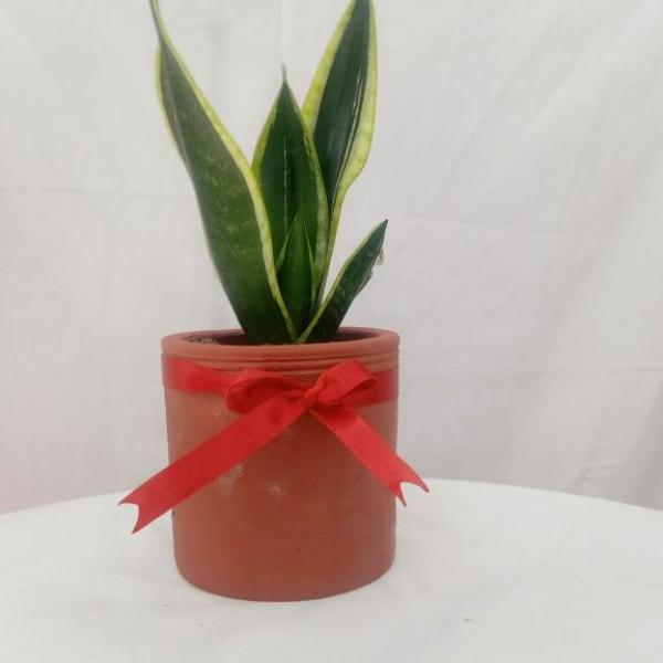 FD 275 Decorated Snake Plant