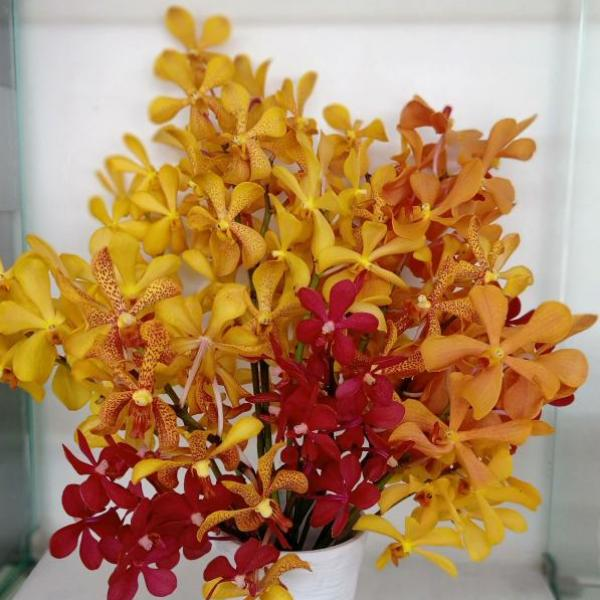 FD 132 Mokara Orchid