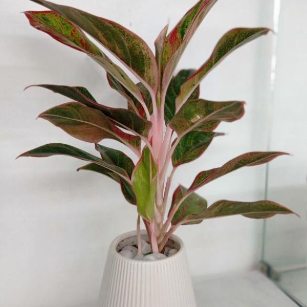 FD 102 Aglaonema Plant