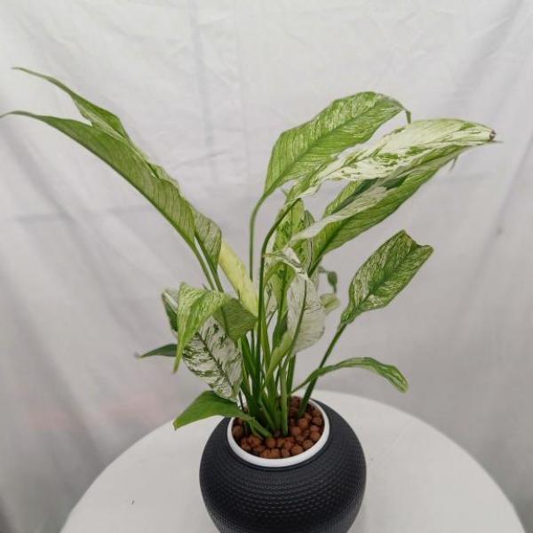 FD 279 Aglaonema Plant