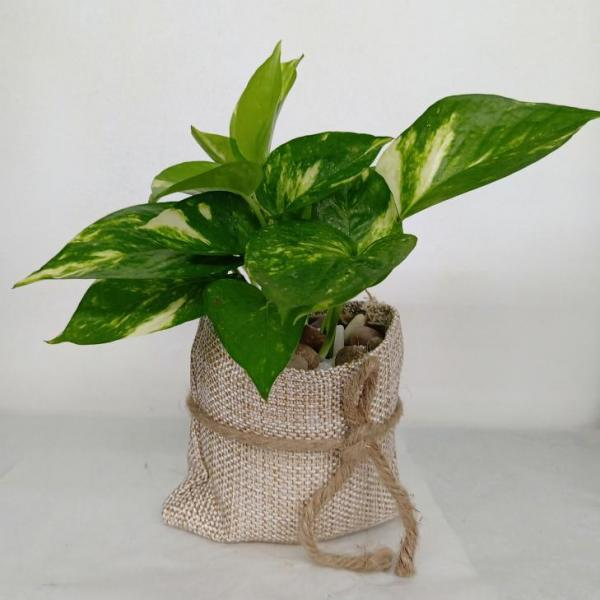FD 174 Gift Plant