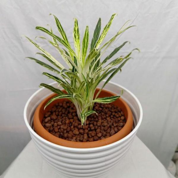 FD 238 Aglaonema Plant