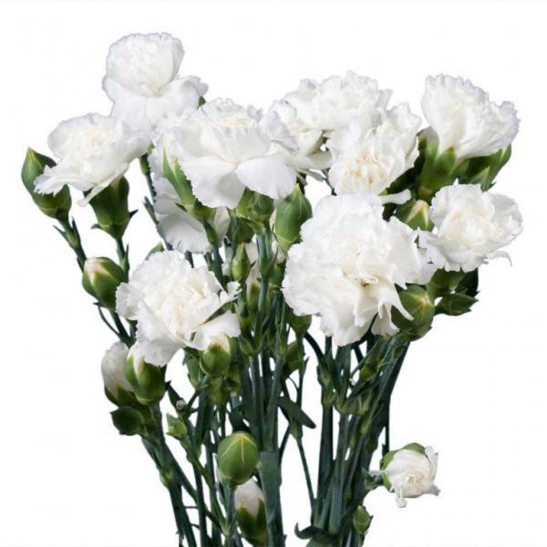 FD 137 Carnation