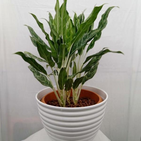 FD 239 Aglaonema Plant